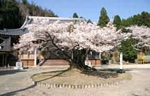 楊貴妃桜.jpg