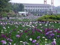 花菖蒲園3.jpg
