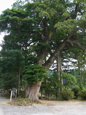 タブの木.JPG