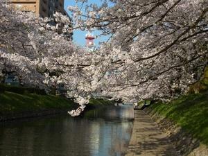 松川の桜.JPG