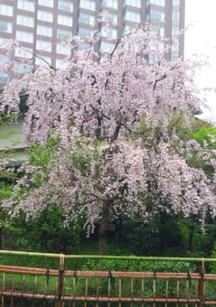 椿山荘庭園のしだれ桜.png