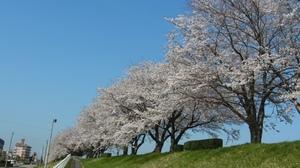 神通川の桜.JPG