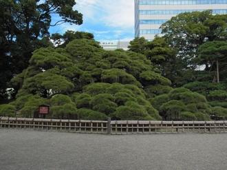 三百年の松.JPG