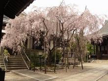 文教寺桜.JPG