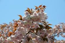 里桜.jpg