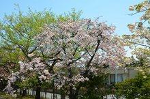 里桜1.jpg