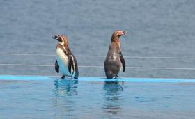 何を想うペンギン.jpg