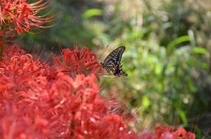 ヒガンバナと蝶.jpg