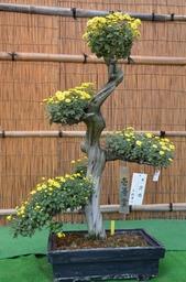 盆栽菊.jpg